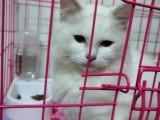 深圳龙华 布偶猫 出售