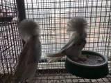 杭州精品大毛领鸽子多少钱一对呢