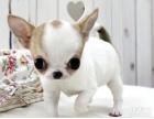 养殖基地出售苹果头大眼睛茶杯体吉娃娃幼犬颜色齐