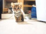 拉萨哪里有孟加拉豹猫卖 野性外表温柔家猫性格 时尚 漂亮
