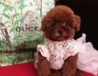 精品娃娃脸泰迪幼犬,签合同 包纯种 双血统