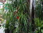 新区植物租摆 绿化养护管理 植物租赁 专业园区租花