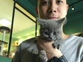 纯种英国短毛猫,蓝猫出售