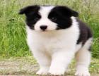 纯种边牧幼犬七白三通双血统 基地繁殖包健康有公母