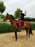出售景区骑乘马,骑乘马价格,汗血马价格