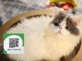 深圳哪里有宠物店 深圳哪里卖宠物猫便宜 深圳加菲猫价格