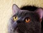 CAA纯种蓝猫帅哥配种找老婆