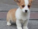 柯基宝宝转让,活泼可爱,可送狗上门