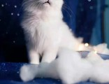 美国CFA认证猫舍 金吉拉 优惠送不停