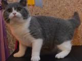 美短折耳美短虎斑苏格兰折耳猫小猫幼猫