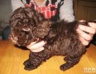 本地繁殖精品玩具小体泰迪犬 签署购买协议可上门看狗
