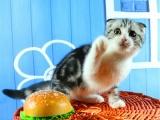 虎斑猫美国短毛猫大包子脸折耳猫 家养活体纯种小奶猫