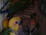 手玩鸟自己养金太阳鹦鹉
