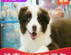 本地出售纯种边牧幼犬,十年信誉有保障
