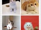 可送货上门 货到付款家养布偶蓝猫加菲猫金吉拉带有检疫证明