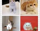 健康保障 猫舍繁殖直销布偶蓝猫加菲猫可送货上门 带有检疫证明
