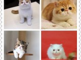 抖音同款布偶 自家猫舍繁殖直销纯种布偶加菲美短英短蓝猫