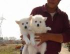 八月首次低价出售优质品相纯种尖嘴银狐幼犬