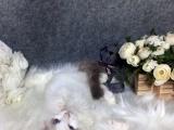 两海豹双色布偶猫找新家