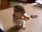 出售金狐狸魔王黄山松鼠