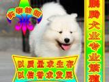萨摩犬 健康 高品质 完美售后 质保三年