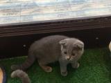 低价出售英短蓝猫蓝白