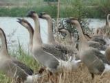 大种乌鬃鹅动物种苗