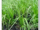 宝鸡矮蒲苇种植基地哪家好,认准成都绿篱苗