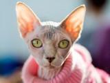 萌宠来袭,蓝眼斯芬克斯,重点色加拿大无毛猫
