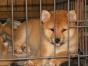 专业繁殖柴犬,疫苗全,包活签协议,纯种健康,可送货