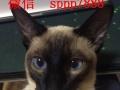 卖纯种暹罗猫宝宝 健康质保,签协议,可送货