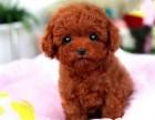 温州哪有泰迪犬卖 温州泰迪犬价格 温州泰迪犬多少钱