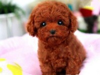 广州最大狗场 泰迪犬等品种三百起 特价直销世界名犬