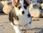佛山哪里买柯基较好 纯种二色三色柯基宠物狗出售
