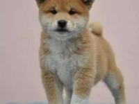 深圳一般去什么地方买狗 深圳哪里有卖纯种柴犬