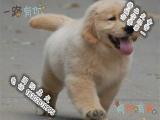 品质好一点的金毛犬多少钱 要纯种品相好的