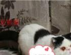 【幸福猫苑】顶级红白净梵,黑白梵文加菲种公借配