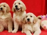 鄭州出售 精品金毛幼犬狗狗出售 包純種 包健康