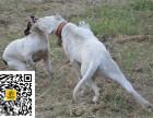 哪里有卖杜高犬杜高犬多少钱杜高犬图片杜高犬幼犬