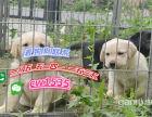 出售纯种拉布拉多犬 拉布拉多幼犬 寻回犬活体宠物狗