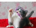英国短毛猫 英短 猫 蓝白 蓝白正八字 纯种