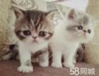 自家加菲猫繁育的加菲宝宝低价转让,大眼睛五短身材
