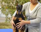 全国连锁双血统杜宾犬繁殖基地 本地可上门