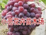 葡萄苗庭院盆栽地栽果树苗京亚葡萄树苗南北方种植当年结果