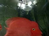 自己养大的财神鹦鹉鱼