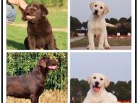 狗年特惠 忠诚伴侣犬拉布拉多 全国包邮签协议售保送大礼包