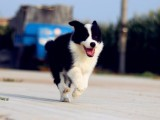 边境牧羊犬品质信誉保证 出售纯种边牧健康质保