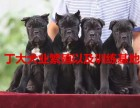 卡斯罗犬价格与图片,卡斯罗犬多少钱一只,卡斯罗犬养殖场
