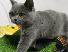 猫舍繁殖精品高品质蓝猫热卖中欢迎选购!