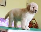 繁殖基地出售纯种 金毛犬 批发零售均可包健康